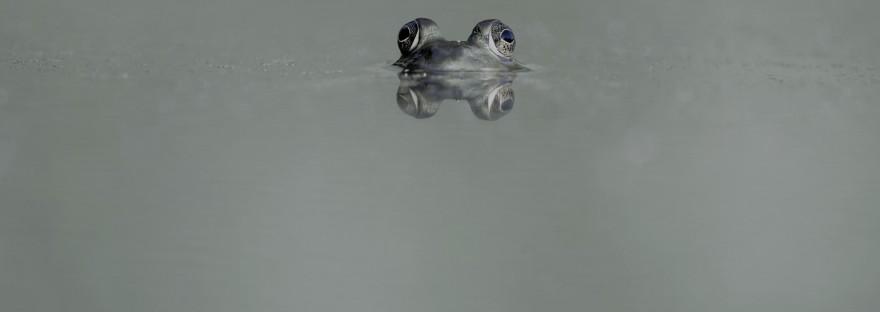 Grenouille à moitié dans l'eau