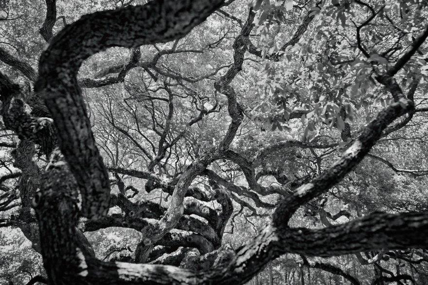 Branches de chêne
